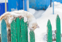 A White-red Cat Is Fooling Around On An Old, Green Fence With Peeling Paint. He Twists Upside Down, Plays And Hangs His Head Down. Funny, Wonderful And Not Ordinary Pet. Cute And Fluffy Cat In Winter