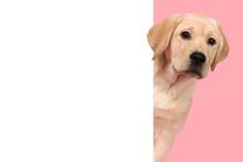 Portrait Of A Cute Labrador Re...