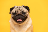 Fototapeta Zwierzęta - adorable dog pug breed making angry face and serious face on yellow background,Happy dog smile ready to summer,Pug Purebred Dog Concept