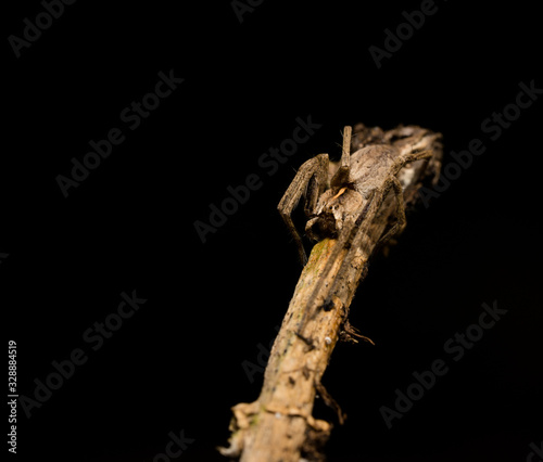 Photo wolf spider sitting on a wood stick in spring time, hessen, germany