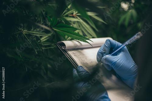 Fototapeta scientist checking hemp plants in a weed greenhouse. Concept of herbal alternative medicine, cbd oil, pharmaceptical industry obraz