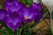 Die ersten Krokusse im frühern Frühling - Blumenlandschaft