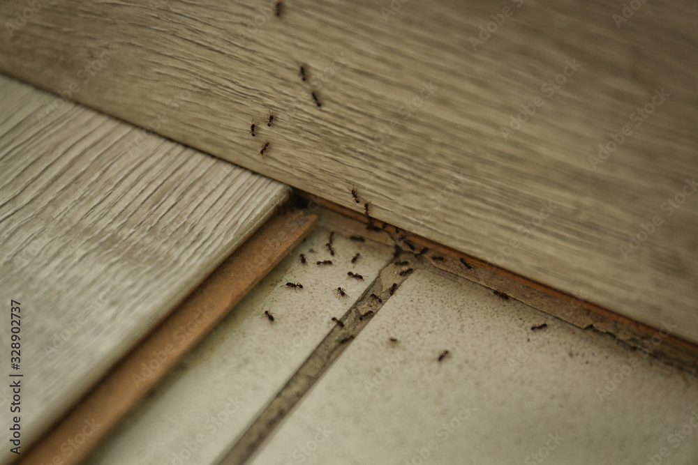 Fototapeta Many black ants on floor at home. Pest control