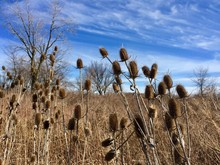 Dry Thistles And Blue Sky