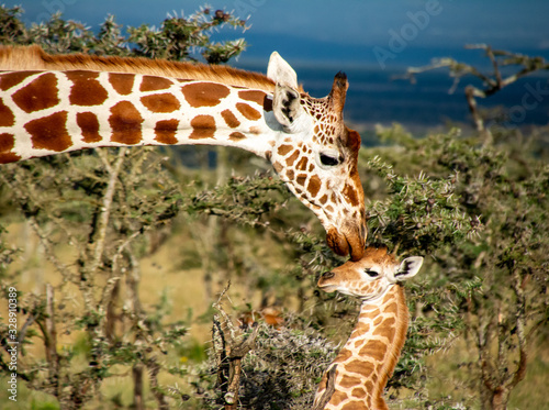Mother giraffe kissing baby giraffe in Kenya Canvas Print