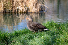 A Female Mallard Duck On The Bank Of A River, In The Spring Sunshine