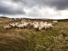 Swaledale Sheep In Nidderdale. Yorkshire Dales