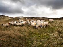 Swaledale Sheep In Nidderdale....