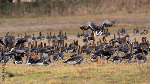 Photo Flying Greater white-fronted goose - Anser albifrons frontalis