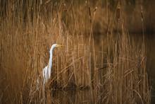 The Great Egret - Ardea Alba I...