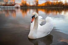 Portrait Of A Swan Swims On Th...