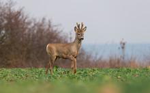 Curious Roe Deer Standing In T...