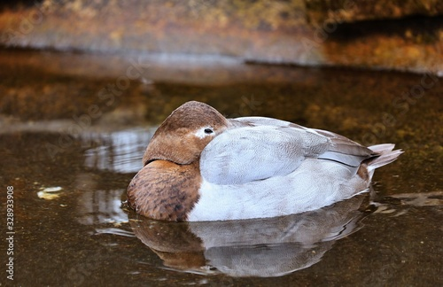 Canvas Print Redhead Duck The redhead is a pochard, a diving duck specially adapted to foraging underwater