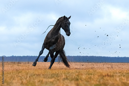 Fototapeta Black andalusian (P.R.E) stallion galloping in a yellow field with blue sky in the background. Animal in motion. obraz
