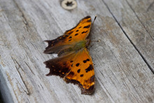 Question Mark Butterfly On Wood