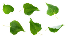 Linden Leaves Isolated