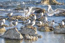 Many Seagulls (Larus Argentatu...