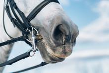 Portrait Of Horse Bridle Detail.