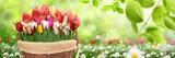 Fototapeta Tulipany - Frühling 491
