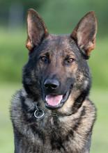 Diesel The German Shepherd Dog