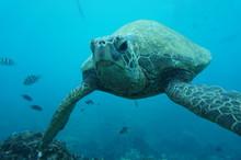 Hawaiian Green Sea Turtle Swim