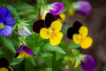 A Portrait Of A Tricolor Viola Standing In Between Others Of Its Kind Which Are Out Of Focus. The Flowers Are Yellow And Purple, With Black Nerves. They Are Also Called Heartsease Or Wild Pansy.