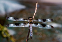 Twelve Spotted Skimmer Dragonfly Over Water Flying