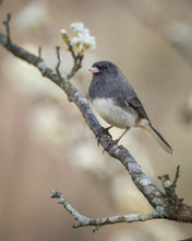 Dark-eyed Junco In Plum Tree