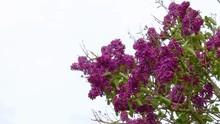 Deep Purple Common Lilac Swayi...