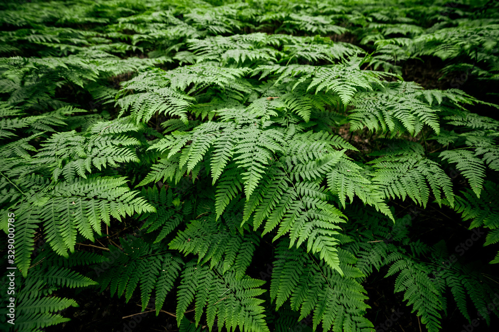 Fototapeta Scenic natural texture of many fern leaves. Beautiful nature background of vivid green ferns. Backdrop of lush fern thickets close-up. Full frame of chaotic rich vegetations. Wild ferns chaos pattern.