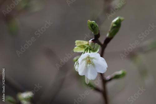 Photo 桜の開花
