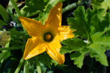 Yellow Flower And Green Leaves Of Pumpkin.