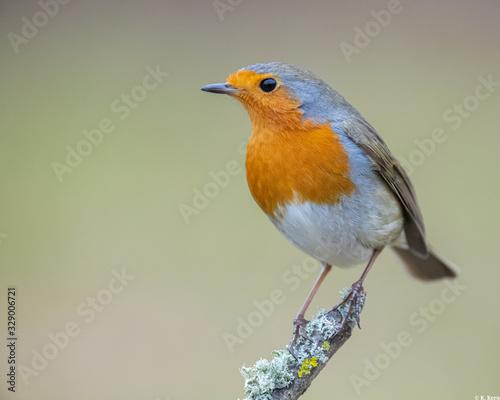 Tablou Canvas robin sitting on a branch