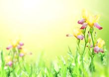 Flowers Of Iris Of Yellow And ...