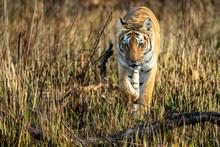 Wild Tiger Walking In Grasslan...