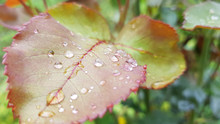Raindrops On Leaf. Colorful Ro...
