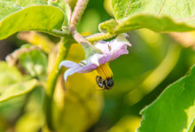 A Bee On An Eggplant Flower On...