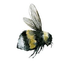 Bumblebees Watercolor Illustra...