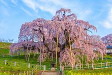 福島県、満開の三春滝桜