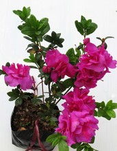 Nice Flower Image, This Image Is A Close Caption. Image Taken At Darjeeling In India.