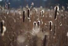 Common Bulrush Plant (Typha La...