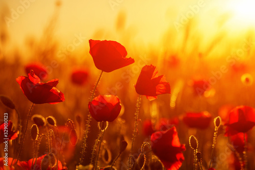 Bright red poppies in a field at sunset - 329030123