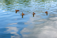 A Group Of Young Ducklings Flo...