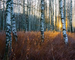Fototapeta Wschód / zachód słońca Close-up of birch tree trunks in forest at sunrise