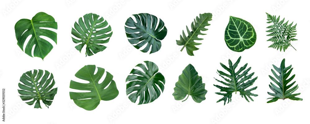 Fototapeta Monstera and Fern plant leaves, the tropical evergreen vine isolated on white background,