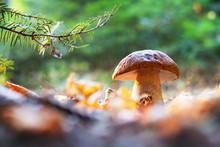 Big White Mushroom Porcini In ...