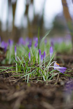Close Up Of Fresh Purple Spring Crocuses Ready To Open. Shallow Depth Of Field, Bokeh And Blur. Green Grass All Around The Flowers