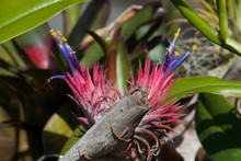 Sydney Australia, Purple Flowering Tillandsia Or Airplant An Epiphyte