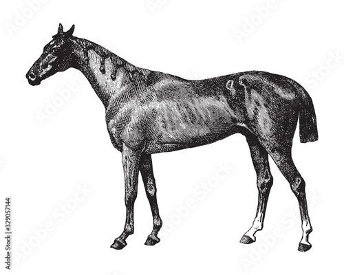 Foto Thoroughbred horse / vintage illustration from Brockhaus Konversations-Lexikon 1