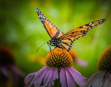 Monarch Butterfly On An Ecgina...
